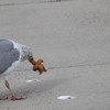 great black backed gull eating a starfish