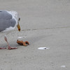 great black backed gull trying to eat a starfish