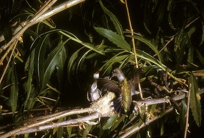 Black-chinned Hummingbird (Archilochus alexandri) Big Bend National Park, Texas, 1958