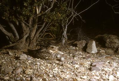 Lesser Nighthawk (Chordeiles acutipennis) Big Bend National Park, Texas, 1958
