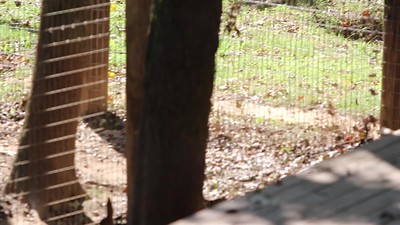 """I love this video of a tiger """"attack"""".  This beauty was covered in ringworm and mange when first rescued.  She has medical problems due to the inbreeding that's used to breed more white tigers (it's a mutation) and is now vibrant and playful."""