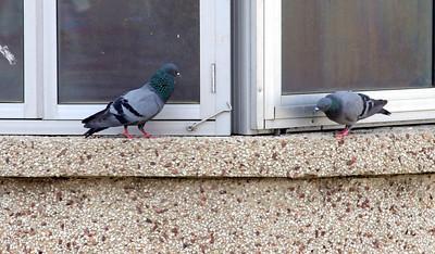 Noida Pigeon galleries