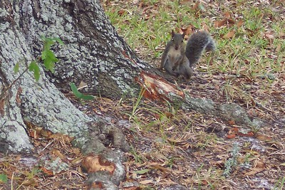 He's really not a demon squirrel, just a strange camera angle. Although the day when 26 of them were circling my car, I had some suspicions.