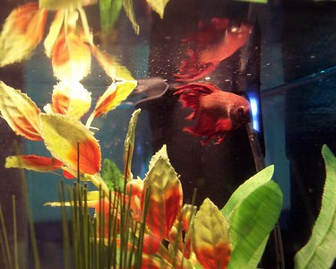 Lars's fighting fish, Ruby, waiting for supper