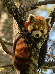 Mindre panda
