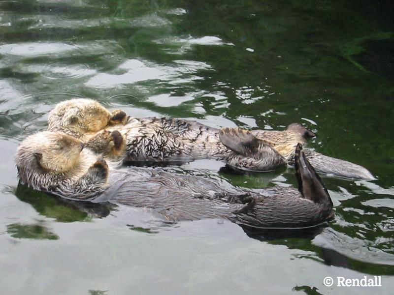 Sea-Otter2.JPG