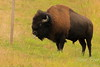 Bison sticking out his tongue