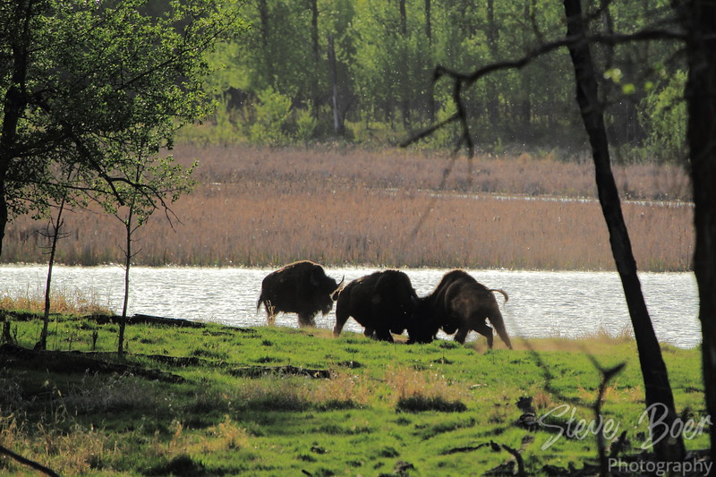Bison Fighting 3