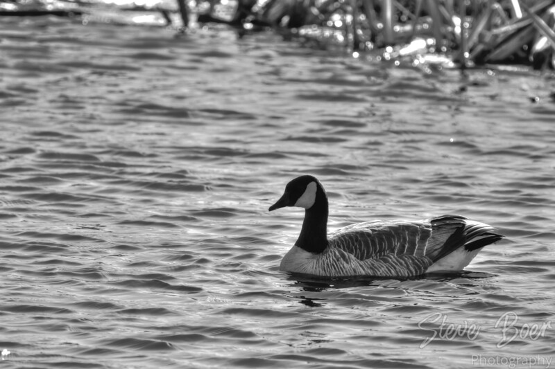 Canada goose black and white hdr