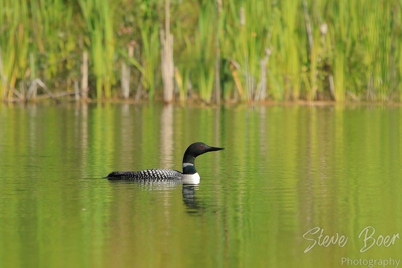Common Loon with green reflections