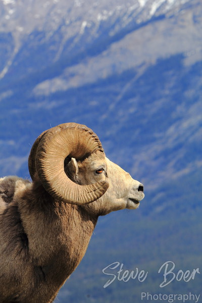 Bighorn Sheep Profile Portrait