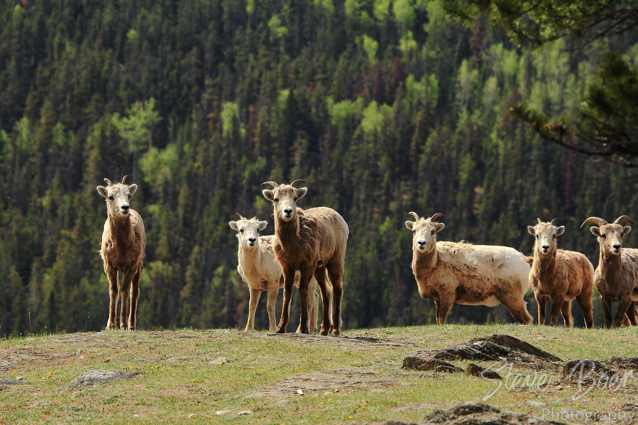 Group of Young Bighorn Sheep on Mountainside
