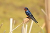 Barn swallow sitting on a cat tail