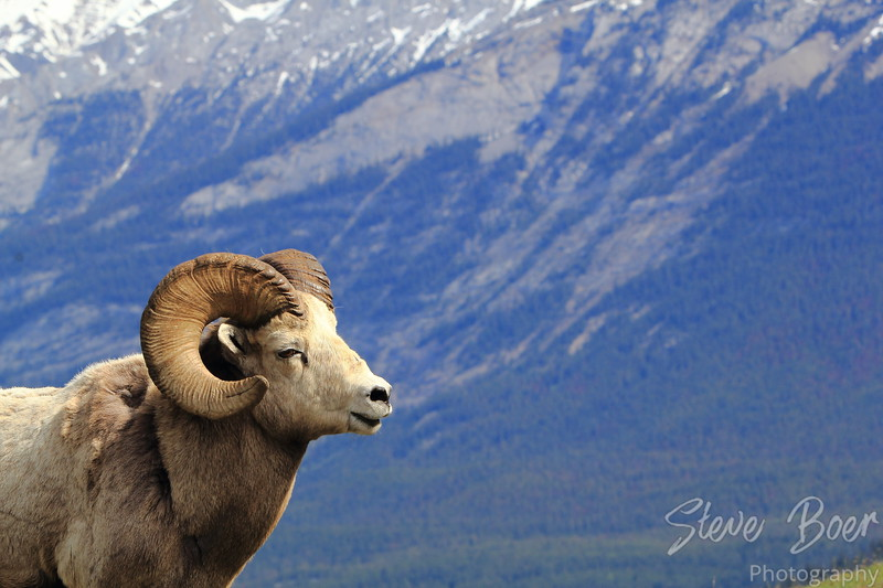 Bighorn Sheep Profile Landscape