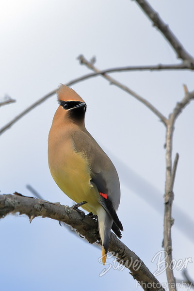 Cedar waxwing perched on branch looking back