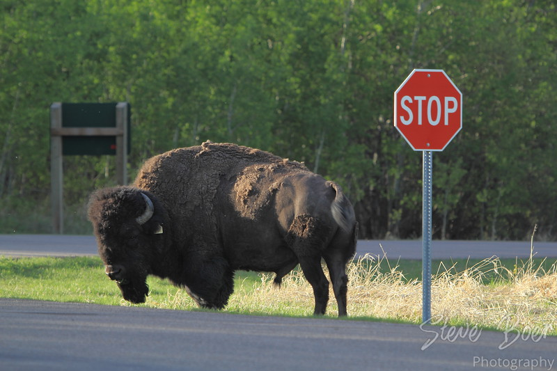 Mr. Bison says 'Stop'