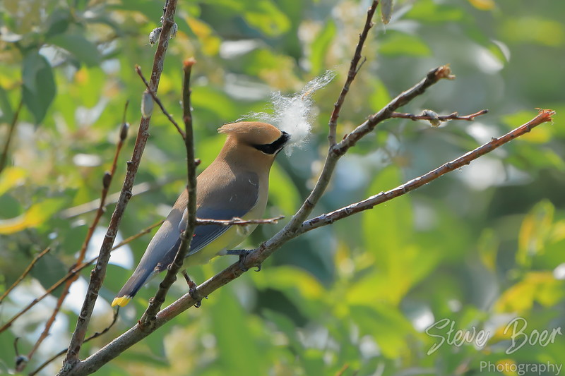 Cedar waxwing collecting fluff for a nest