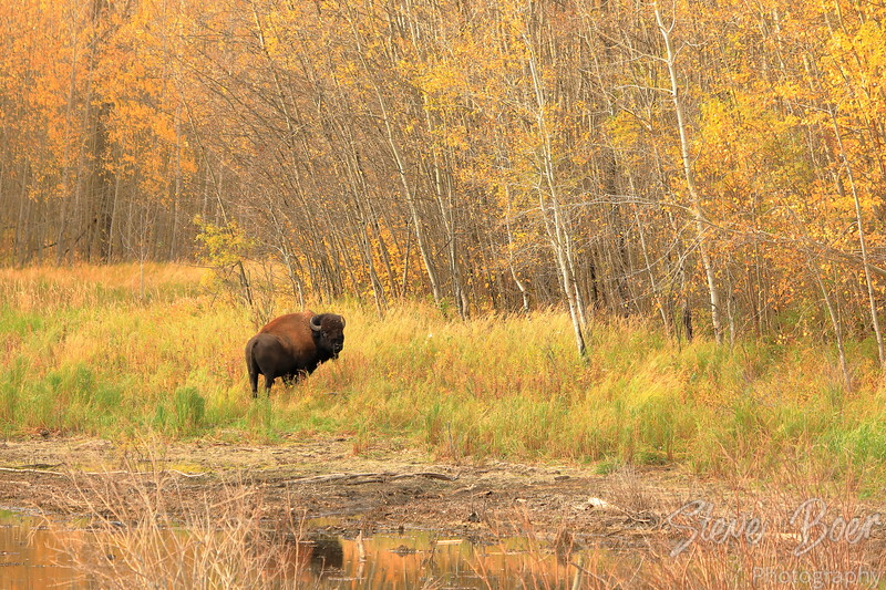 Bison in autumn landscape mode
