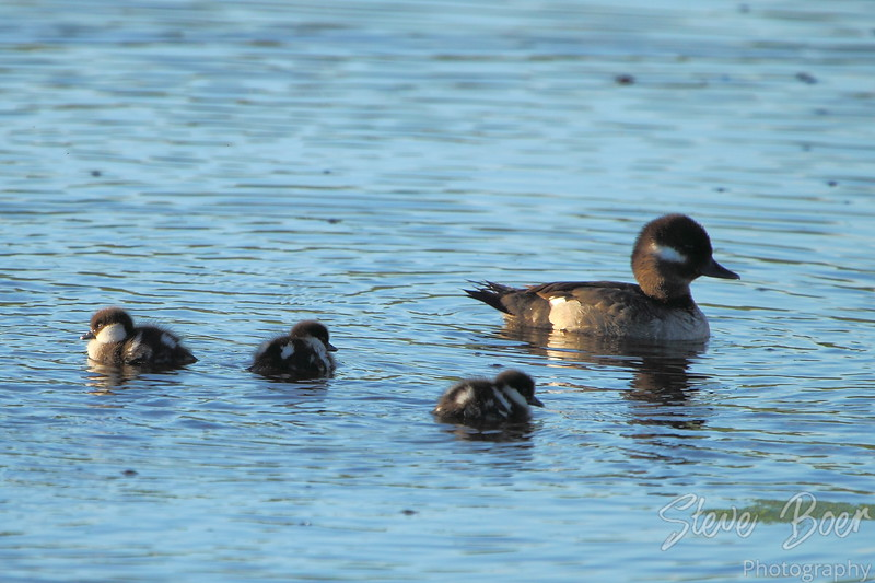 Female Bufflehead with young