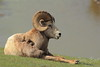 Reclining Bighorn Sheep