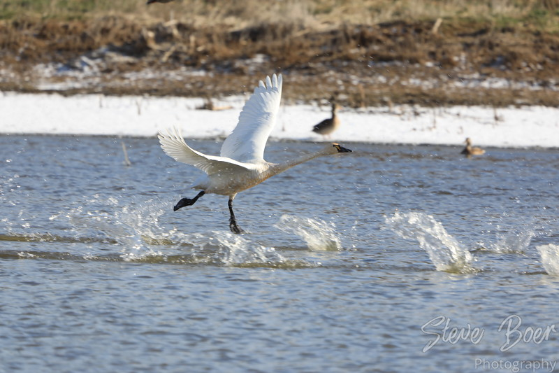 Tundra swan taking off