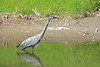Great Blue Heron hunting in a river