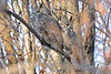Great Horned Owls focused on the back one