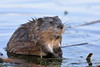 Muskrat giving me the skink-eye