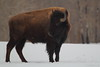 Bison looking back