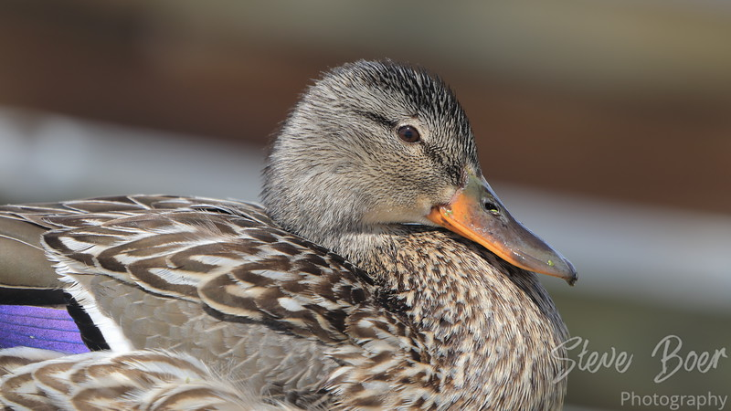 Female Mallard Profile