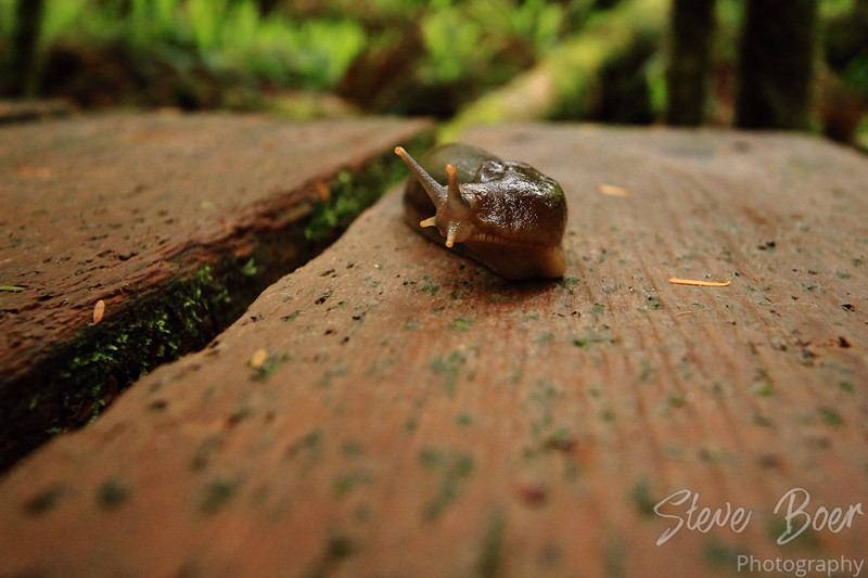 Banana Slug on boardwalk