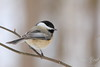 Black capped chickadee perched on a small branch