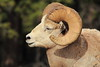 Bighorn Sheep Profile Dark Background