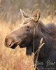 Cow moose profile