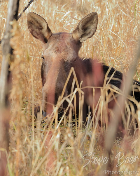 Cow moose lying in tall grass