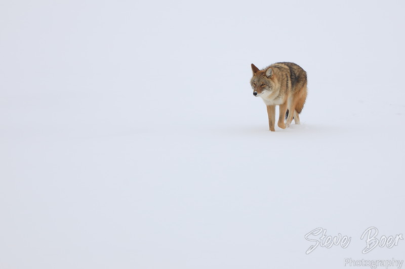 Coyote isolated on a snowy frozen river