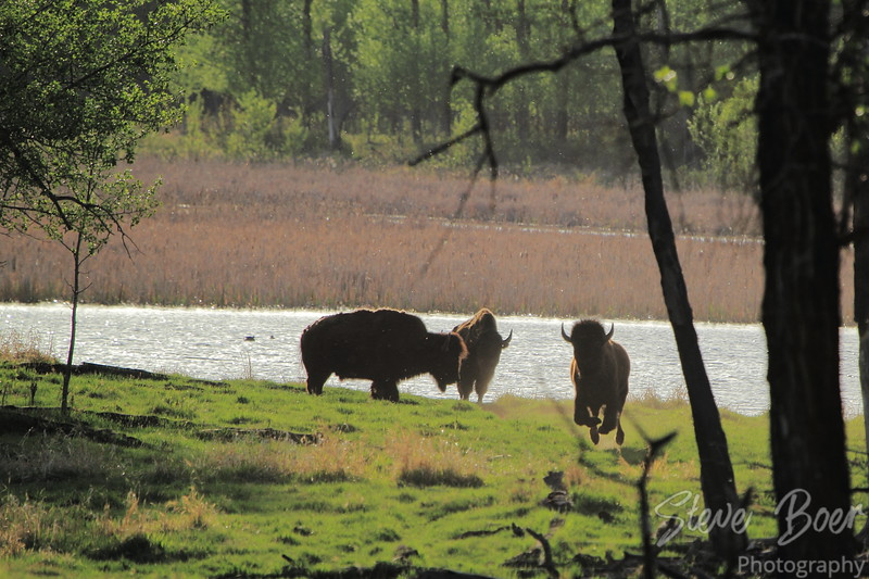 Bison Fighting 5