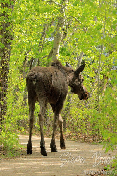 Moose on a city trail