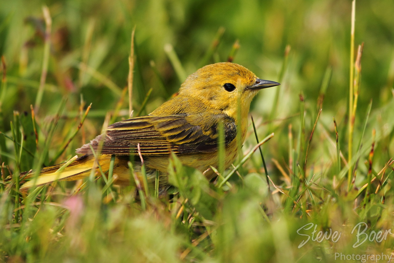Yellow Warbler in the grass