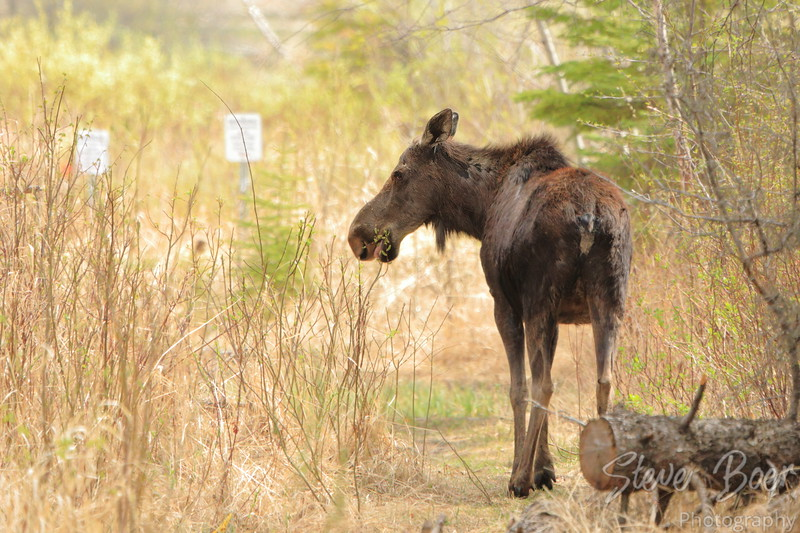 Young moose eating trees in the woods