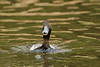 Scaup duck going into attack mode