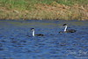 Western Grebes - Aechmophorus occidentalis