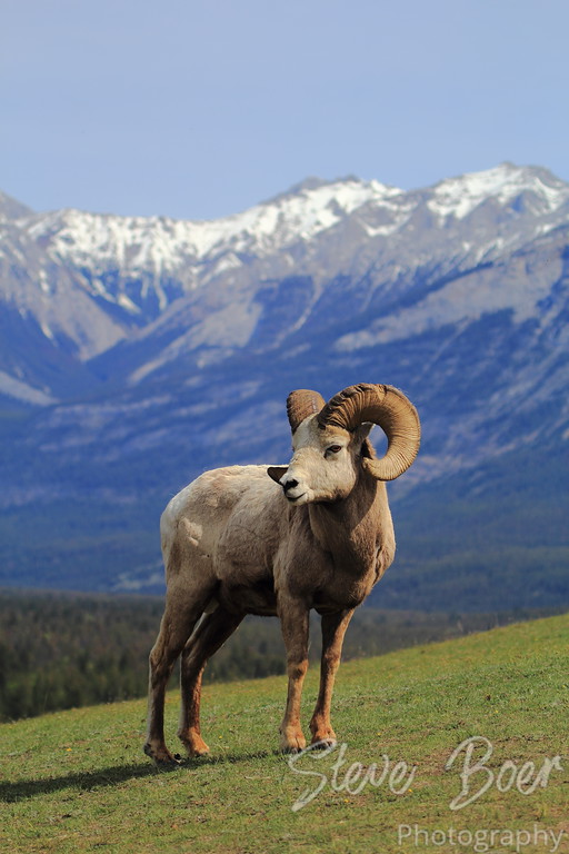 Bighorn Sheep with Mountain Background