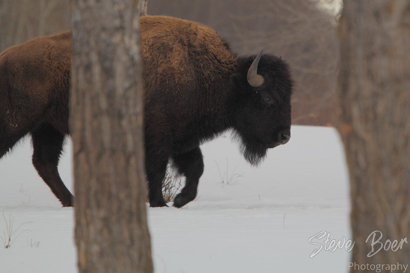 Bison at Elk Island in Winter