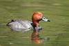 Male redhead duck swimming in a pond