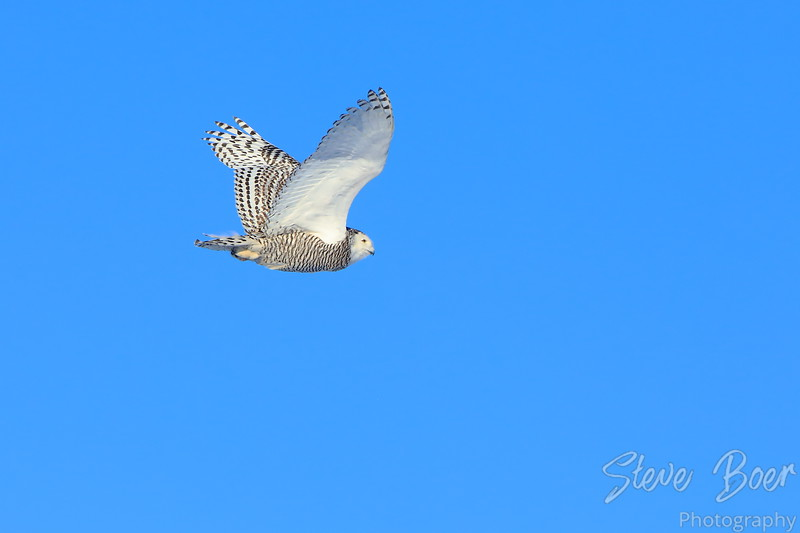 Snowy owl in flight wings up