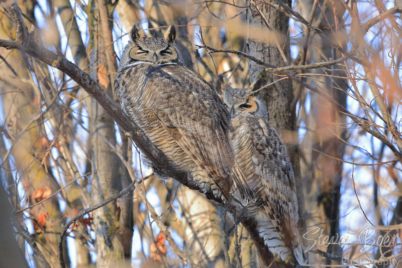 Great Horned Owl eyes closed