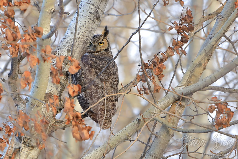 Great Horned owl looking backwards