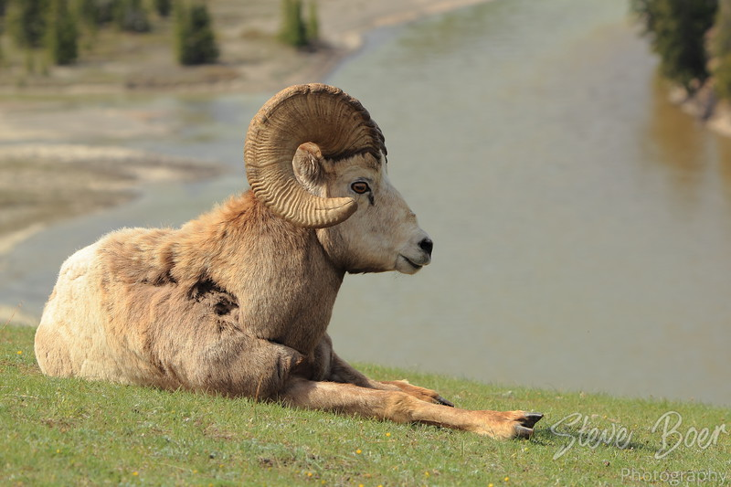 Reclining Bighorn Sheep with river background
