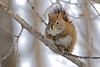 Red squirrel sitting on a tree branch
